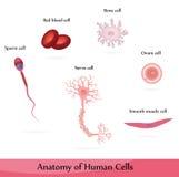 Células humanas Fotos de archivo libres de regalías