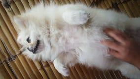 Céntrese en el perro lindo del pekinés que se relaja en las esteras de bambú del piso y consiga el masaje del dueño Foto de archivo