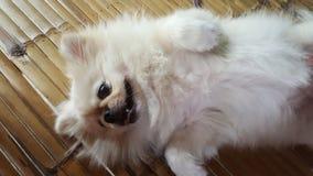 Céntrese en el perro lindo del pekinés que se relaja en las esteras de bambú del piso y consiga el masaje del dueño Foto de archivo libre de regalías