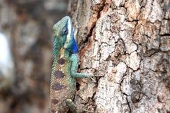 Céntrese un camaleón en árbol. Imagen de archivo libre de regalías