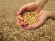 Céréale de blé Photos stock