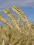 Céréale de Rye Photos libres de droits