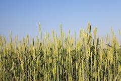 Céréale non mûre verte Images stock