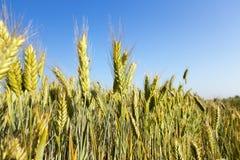 Céréale non mûre verte Image libre de droits