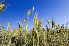 Céréale non mûre verte Photo libre de droits