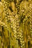 céréales Photographie stock