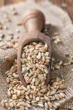 Céréales (blé, seigle, orge, avoine et millet) Images libres de droits