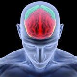 Cérebro Foto de Stock Royalty Free