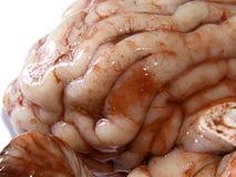Cérebro Imagens de Stock Royalty Free