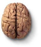 Cérebro de madeira Foto de Stock