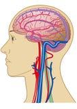 Cérebro e vaso sanguíneo Foto de Stock