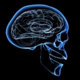 Cérebro humano Fotografia de Stock Royalty Free