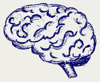 Cérebro humano Imagem de Stock