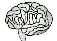 Cérebro humano Fotos de Stock