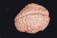Cérebro humano Imagens de Stock Royalty Free