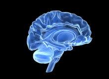 Cérebro humano Fotos de Stock Royalty Free