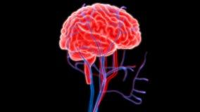 Cérebro humano com nervos, veias e anatomia das artérias Imagem de Stock Royalty Free