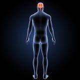 Cérebro humano com opinião do traseiro do corpo Imagens de Stock