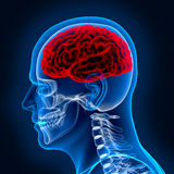 Cérebro humano e scull Fotografia de Stock Royalty Free