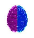 Cérebro humano esquerdo e direito Fotos de Stock Royalty Free