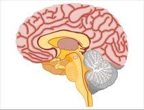 Cérebro humano - ilustração conservada em estoque Ilustração Royalty Free