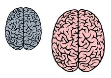 Cérebro humano isolado Imagens de Stock Royalty Free