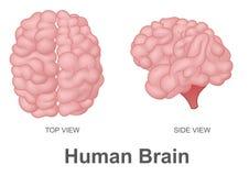 Cérebro humano na vista superior e na vista lateral Fotografia de Stock Royalty Free