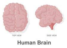 Cérebro humano na vista superior e na vista lateral Imagem de Stock