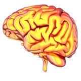 Cérebro isolado no branco Foto de Stock Royalty Free