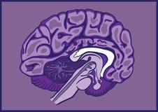 Cérebro meio Imagem de Stock Royalty Free