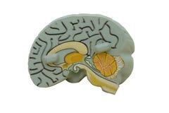 Cérebro modelo imagens de stock royalty free