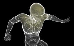 cérebro proeminente transparente do corpo humano da ilustração 3D - ³ n de Ilustracià ilustração stock