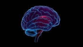 Cérebro que gira (canal alfa reto e dado laços) Foto de Stock