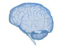 Cérebro transparente Foto de Stock