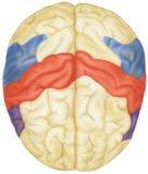 Cérebro - vista superior Foto de Stock