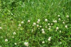 Césped alpino con el montanum del Trifolium del trébol de la montaña que crece en t imagenes de archivo