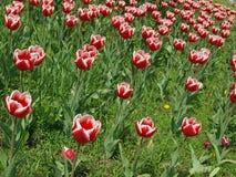 Césped con el primer rojo de los tulipanes Foto de archivo