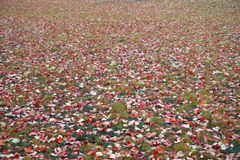 Césped con las hojas caidas amarillas, anaranjadas, rojas de un abedul, una hierba verde Fondo del otoño Imagen de archivo