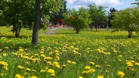 Césped de dientes de león amarillos en la inclinación del parque de la ciudad para arriba almacen de metraje de vídeo