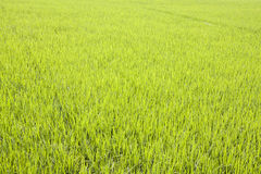 Césped de la hierba Imagen de archivo