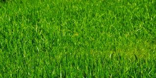 césped de la hierba verde Imágenes de archivo libres de regalías