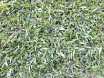 Césped de la hierba verde en el jardín, fondo natural del eco Fotos de archivo libres de regalías