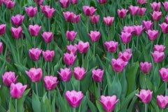 Césped de tulipanes coloridos en el parque de la primavera imágenes de archivo libres de regalías