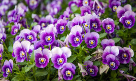 Césped de violetas Fotos de archivo libres de regalías