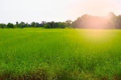 Césped del fondo del paisaje de la hierba verde del campo del arroz Fotos de archivo