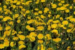Césped del verano con muchos dientes de león amarillos Fotografía de archivo libre de regalías