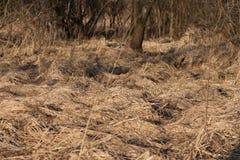 Césped en el bosque de la primavera en la puesta del sol El año pasado hierba secada del ` s en abril Fotografía de archivo