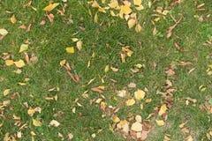 Césped en el otoño cubierto con el abedul y las hojas caidas castaña Imagenes de archivo
