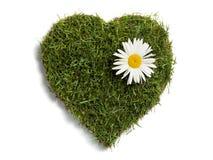 Césped en forma de corazón del césped con la flor grande de la margarita Imagen de archivo libre de regalías