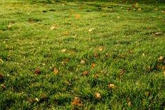 Césped - hierba con las hojas Imagenes de archivo